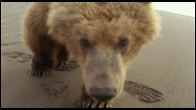 Grizzly Man - Trailer Poster